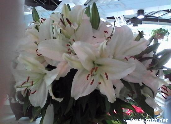 """二:兰中皇后:蝴蝶兰 蝴蝶兰花姿优美,颜色华丽,为热带兰中的珍品,有兰中皇后之美誉。蝴蝶兰有很多很有美妙的花语和寓意,在风水学的角度上有一定的促进作用。如:白花蝴蝶兰预示着爱情纯洁和友谊珍贵,新婚的家庭放一株在家就预兆这美好的婚姻,和朋友一起住的人,放一株在家,就预示着和睦共处。 蝴蝶兰的摆放:蝴蝶兰的花语是我爱你、幸福向你飞来。因而,有很多人结婚时,蝴蝶兰送给新娘,新婚的家庭放一株在沙发的右侧,预兆美好的婚姻。 [[img ALT=""""百合花"""" src=""""http://simg."""